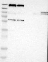 NBP1-83143 - IQGAP1