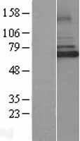 NBL1-12027 - IRAK3 Lysate
