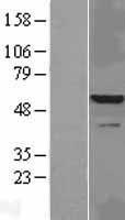 NBL1-12028 - IRAK4 Lysate