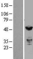 NBL1-12032 - IRF3 Lysate