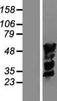 NBL1-12033 - IRF4 Lysate
