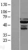 NBL1-12034 - IRF5 Lysate