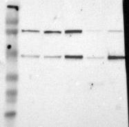 NBP1-81577 - IRF9 / ISGF3G