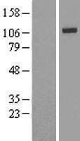 NBL1-12029 - IRP2 Lysate