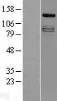 NBL1-12040 - IRS4 Lysate