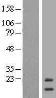NBL1-12045 - ISCU Lysate
