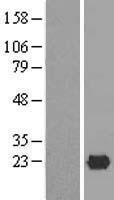 NBL1-12047 - ISG20 Lysate
