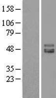 NBL1-12051 - ISLR Lysate