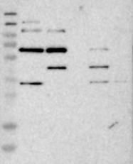 NBP1-85735 - ITFG1