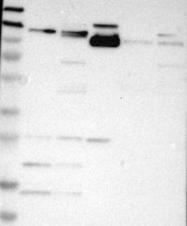NBP1-86118 - Integrin alpha-7 / ITGA7