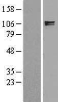 NBL1-12078 - ITIH2 Lysate