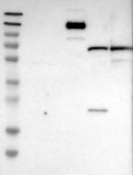 NBP1-93705 - ITIH3