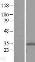 NBL1-12082 - ITM2B Lysate