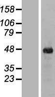 NBL1-12087 - ITPK1 Lysate