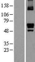 NBL1-12278 - ITPRIP Lysate
