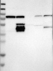 NBP1-82895 - ITPRIPL1 / KIAA1754L
