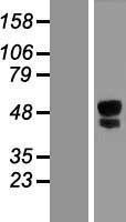 NBL1-12279 - ITPRIPL1 Lysate