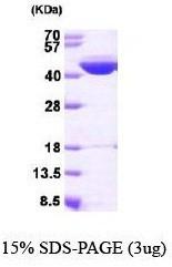NBP1-40406 - IVD
