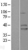 NBL1-12090 - IZUMO1 Lysate
