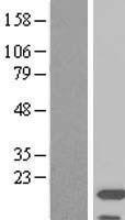 NBL1-07408 - Iba1 Lysate