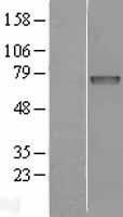 NBL1-11823 - Iduronate 2 sulfatase Lysate