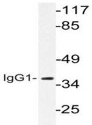 NBP1-30530 - IGHG1