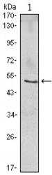 NBP1-51637 - NFKBIB / IKBB