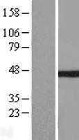 NBL1-13621 - IkB beta Lysate
