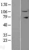 NBL1-12014 - Importin 11 Lysate
