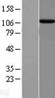 NBL1-12015 - Importin-13 Lysate