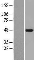 NBL1-11988 - Indoleamine 2, 3-dioxygenase Lysate