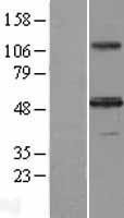 NBL1-11994 - Inhibin beta A Lysate