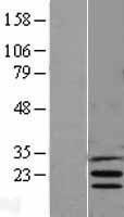 NBL1-12003 - Insig1 Lysate