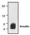 NBP1-45662 - Insulin