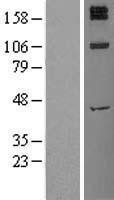 NBL1-12008 - Insulin Receptor Lysate