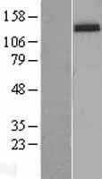 NBL1-12062 - Integrin alpha 2 Lysate