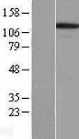 NBL1-12063 - Integrin alpha 3 Lysate
