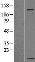NBL1-12065 - Integrin alpha 5 Lysate