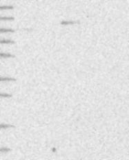 NBP1-90188 - ITGA9 / Integrin alpha-9