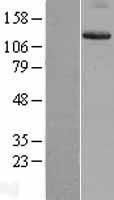 NBL1-12067 - Integrin alpha 9 Lysate