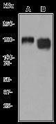 NB100-79981 - CD29 / Integrin beta-1