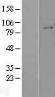NBL1-12069 - Integrin beta 1 Lysate