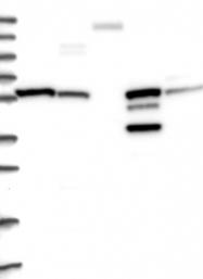 NBP1-87412 - Integrin beta-7
