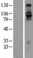 NBL1-12076 - Integrin beta 7 Lysate