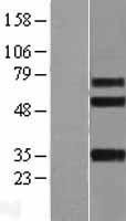 NBL1-12077 - Integrin beta-like protein 1 Lysate
