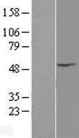 NBL1-11974 - Integrin linked ILK Lysate