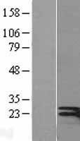 NBL1-11851 - Interferon gamma Lysate