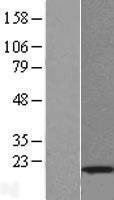NBL1-12046 - Interferon-induced 17 kDa protein Lysate