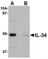 NBP1-76356 - Interleukin-34 / IL34