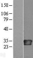 NBL1-11955 - Interleukin 34 Lysate
